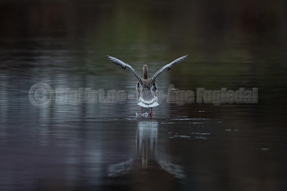 Grågås inn for landing   Gray goose in for landing