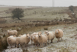 © Licensed to London News Pictures. 13/02/2021. Builth Wells, Powys, Wales, UK. Sheep brave the strong south east winds and snow with temperatures minus 4.5 deg C and 'feels like' temperature around minus 10-15 deg C at 400 metres (1,300 feet) above sea-level on the Mynydd Epynt range near Builth Wells in Powys, Wales, UK. Photo credit: Graham M. Lawrence/LNP