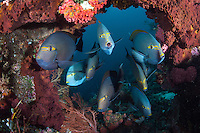 """Yellow Mask Surgeonfish congregate at a cleaning station.<br /> <br /> Shot at Cape Kri, Raja Ampat Islands, W. Papua Province, Indonesia<br /> <br /> Cape Kri is one of the """"fishiest"""" dives in the world.  Given its protection in the Raja Ampat Marine Protected Area, as well as its proximity to a resort that does a great job of """"policing"""" the adjacent areas, this reef is among the healthiest in the Coral Triangle."""
