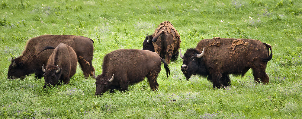Bison graze in the 10,894-acre Tallgrass Prairie National Preserve located in the Flint Hills of Kansas in Chase County near the towns of Strong City and Cottonwood Falls. Some of the bison are shedding their winter coat to stay cool. Birds use spent bison hair to line their nests. In October 2009, the Tallgrass Prairie National Preserve brought 13 genetically pure bison from Wind Cave National Park in South Dakota. The preserve plans to add more bison from Wind Cave with a final herd size between 75 and 100 bison. Tallgrass Prairie National Preserve is the only unit of the National Park Service dedicated to the preservation of the tallgrass prairie ecosystem. The Tallgrass Prairie National Preserve is co-managed with The Nature Conservancy.