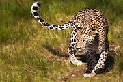 Panthera pardus saxicolor), also called Caucasian leopard, is the largest leopard subspecies, weighng up to 90kg, and average bodylenght of 259 cm. This picture is captured at Orsa Animalpark, Sweeden. I have added gentle paint effect in PhotoShop   Persisk Leopard, også kalt Caucasian Leopard, er med sin vekt på opptil 90 kg og gjennomsnittelig kroppslengde 259 cm den største leopard arten. Dette bildet er tatt i Orsa Bjørnepark i Sverige. Jeg har lagt til en anelse maleri effekt i Photoshop.