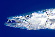 head shot of a great barracuda at umm kharariem,  Southern Egyptian Red Sea