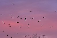 Turkey Vultures in Flight at Dawn. Image taken with a Fuji X-H1 camera and 200 mm f/2 telephoto lens.