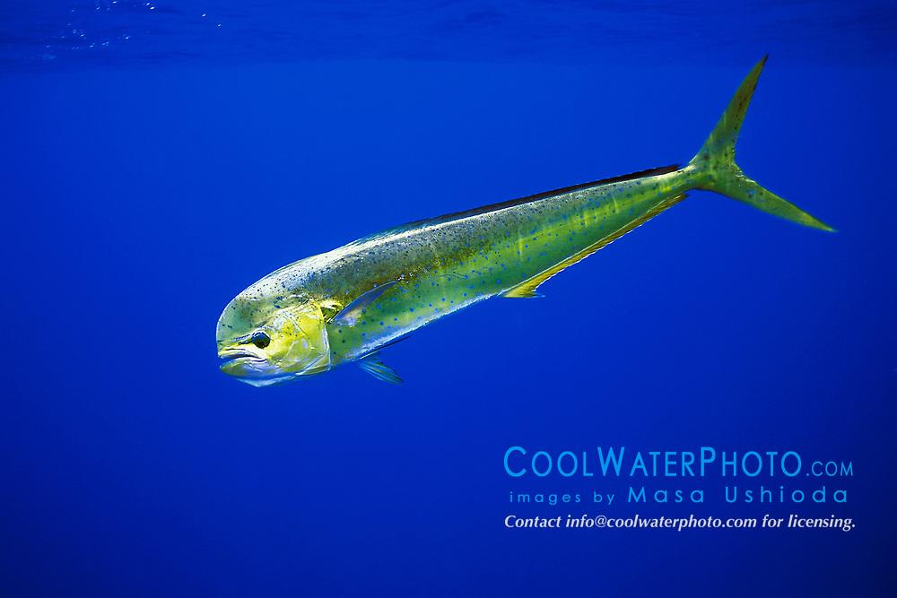 mahi mahi, dolphin fish, or dorado cow, Coryphaena hippurus, Kona, Big Island, Hawaii, USA, Pacific Ocean