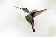 Collared Inca hummingbird captured in Cloud Forest, Ecuador | Hvitbrystinka kolibri i luften. Fotografert i Tropisk Regnskog i Ecuador, ca. 2290 moh.