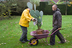 Lifting cacti and succulents for overwintering.