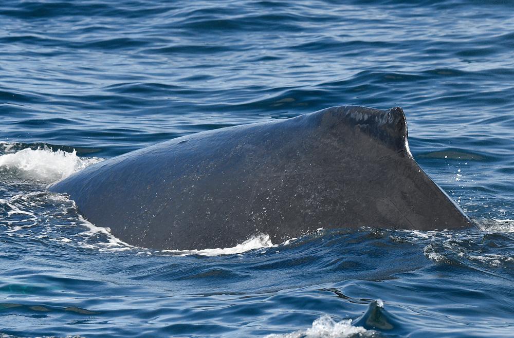 Humpback Whale - Megaptera novaeangliae