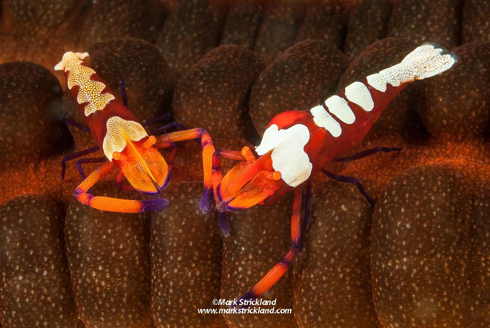 Imperial Shrimp, Periclimenes imperialis, living on sea cucumber. Philippines, Visayan Sea, Pacific Ocean