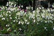 Nicotiana alata 'Grandiflora' - September