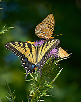 Tiger Swallowtail Butterfly, Great Spangled Fritillary Butterfly, and Skipper Butterfly on a Thistle Flower. Image taken with a Nikon D2xs camera and 80-400 mm VR lens.