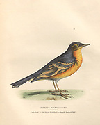 Orpheus meruloides (mockingbird) color plate of North American birds from Fauna boreali-americana; or, The zoology of the northern parts of British America, containing descriptions of the objects of natural history collected on the late northern land expeditions under command of Capt. Sir John Franklin by Richardson, John, Sir, 1787-1865 Published 1829