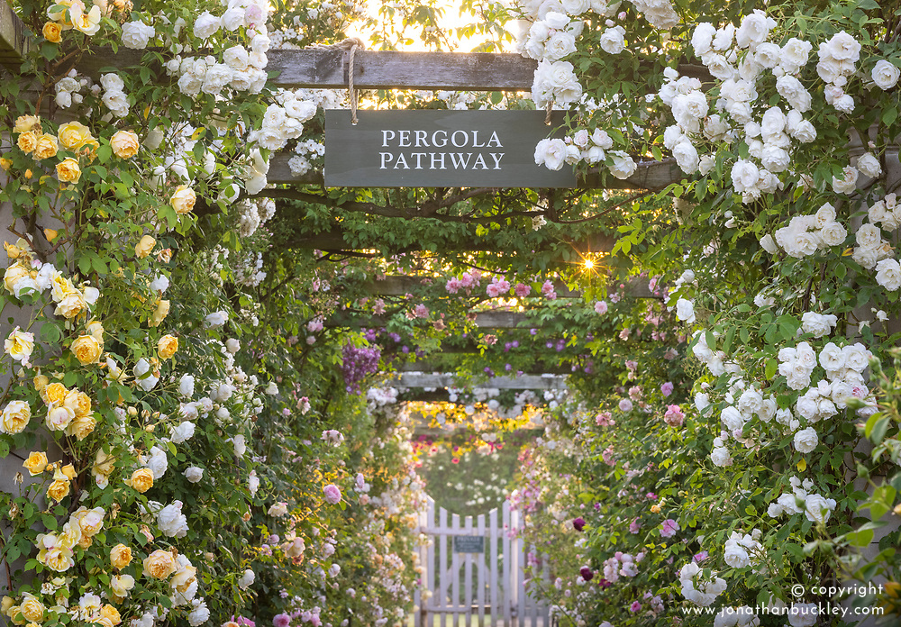 The Pergola Pathway at dawn with Rosa 'Iceberg' on the right