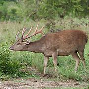 Wild deer eating grass in Indonesia.