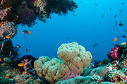 Soft Coral (Dendronephthya sp)<br /> Raja Ampat<br /> West Papua<br /> Indonesia