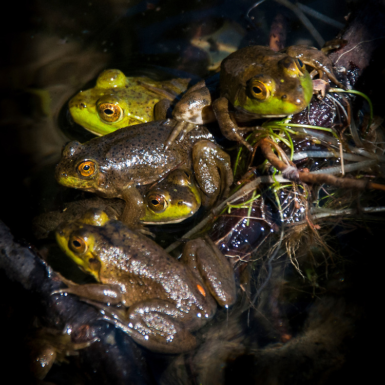 Frogs at Craig's Pond, Orland, Maine, US