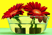 two Gerbera flowers standing in a glass jar with water