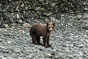 A grizzly bear spring cub on the shore of the lower lagoon at the McNeil River State Game Sanctuary on the Kenai Peninsula, Alaska. The remote site is accessed only with a special permit and is the world's largest seasonal population of brown bears.