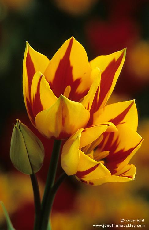 Tulipa 'Colour Spectacle'
