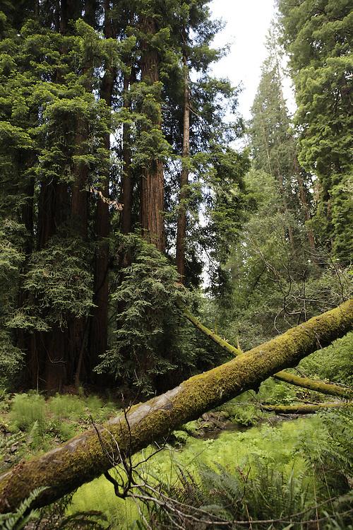 Trees in the Muir Woods. California, 2010
