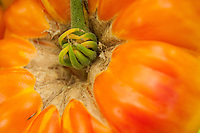 A close up view of a Gold Medal Tomato on the vine.
