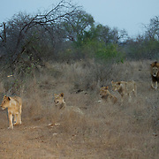African Lion pride late evening. Londolozi Private Game Reserve. South Africa.