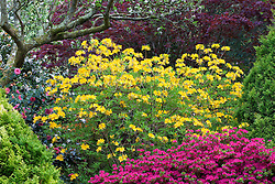 Rhododendron luteum AGM with Kurume azalea in the main border at Greencombe