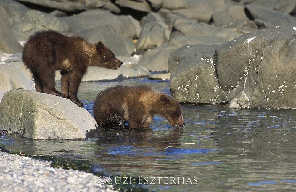 Alaskan Brown Bear<br /> Ursus arctos middendorffi<br /> 4-6 month old cubs<br /> Katmai National Park, AK