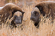 Alaska. Close-up of two Muskox (Ovibos moschatus) bulls just after a head-butting dispute over dominance of the herd, during the autumn breeding season on the Seward Peninsula, outside of Nome.