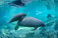 """A rotund male manatee calf swims above his mother while she guides him into the warm springs. Note his flippers and part of his tummy keeps in contact as not to get lost. Calves often swim above (or below) their moms while keeping tactile contact. The strong Florida sunlight feels good to the pair and is not too bright as manatee eyesight is poor. They """"feel"""" their world with many body hairs. This is a recent image from March 2018. Florida manatee, Trichechus manatus latirostris, a subspecies of the West Indian manatee, endangered. Three Sisters Springs, Crystal River National Wildlife Refuge, Kings Bay, Crystal River, Citrus County, Florida USA. IUCN Red List: Endangered. USFWS implemented downlisting to Threatened 2017: http://www.iucnredlist.org/details/22106/0. Taken under USFWS SUP Permit"""