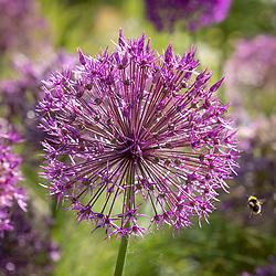 Bee on Allium 'Purple Rain'