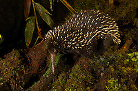 Eastern Long-beaked Echidna (Zaglossus bartoni).  Rare species from the mountains of New Guinea.<br />