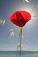 Mediterranean Poppy, Papaver apulum.<br /> Lagadin village region, east shore Lake Ohrid (693m), Macedonia<br /> Galicica National Park, Macedonia, June 2009<br /> Mission: Macedonia, Lake Macro Prespa /  Lake Ohrid, Transnational Park<br /> David Maitland / Wild Wonders of Europe