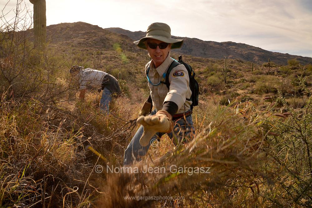 Tucson, Arizona, USA; February 8, 2014; Volunteers and staff at Saguaro National Park East remove buffelgrass, a non-native plant which threatens the Sonoran Desert, in Tucson, Arizona, USA.