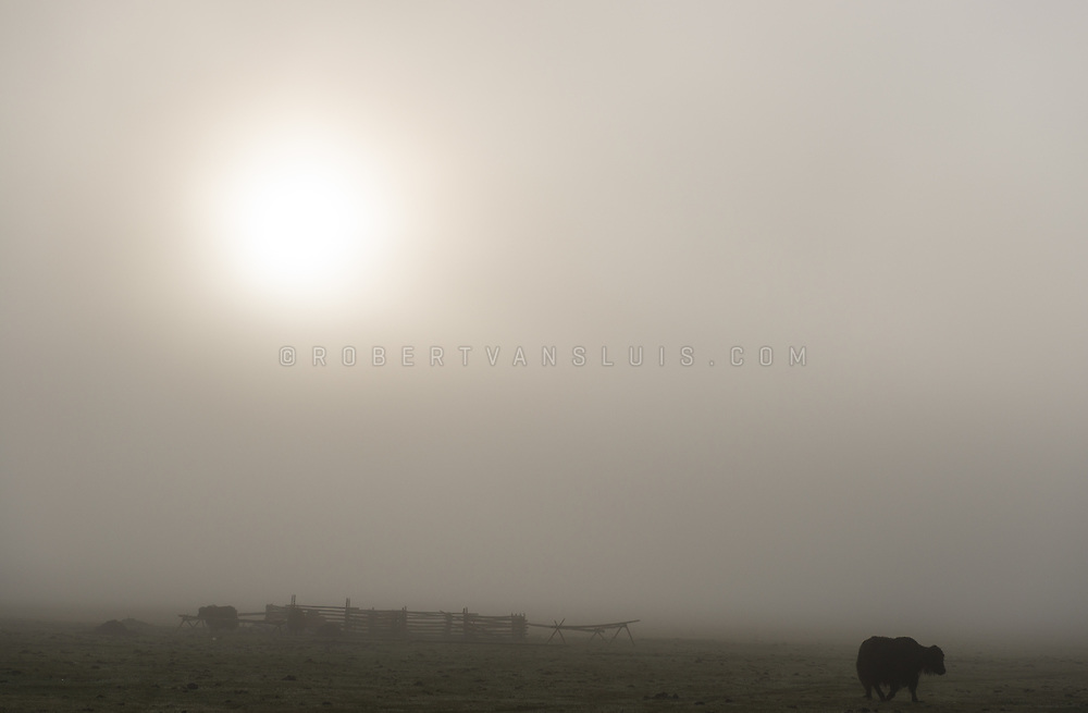 Yaks in morning mist, Khovsgol Province, Mongolia. Photo © Robert van Sluis