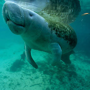 West Indian Manatee, (Trichechus manatus) Adult surfacing for air in freshwater spring. Florida.
