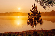 Red pine tree (Pinus resinosus) at sunrise on Tilton Lake<br /> Sudbury<br /> Ontario<br /> Canada