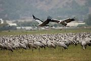 Israel, Hula Valley, Grey Cranes Grus grus at the Agmon lake winter November 2007