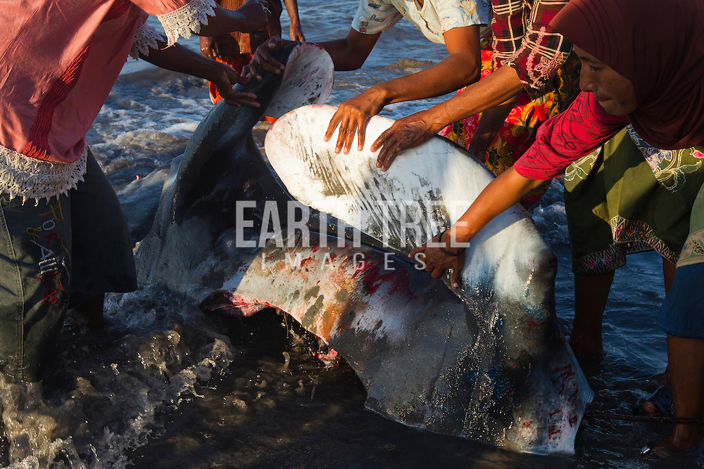 The head of a large manta ray is pulled up the beach after it's been speared for it's gills and meat in Indonesia. Photo: Paul Hilton for Manta Ray Of Hope