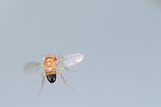 Wild type Fruit Fly (Drosophila melanogaster) in filght in a lab culture. | Eine schillernde Erscheinung, tausendmal gesehen, doch aufgrund der geringen Größe nie gewürdigt: eine männliche Taufliege (Drosophila melanogaster) im Flug. Die Vergrößerung offenbart extremste Flugmanöver, Ausgleichsbewegungen mit Beinen und Körper und dabei der perfekte Rundumblick.