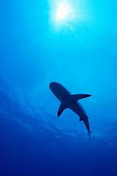 Silhouette of Caribbean Reef Shark, Carcharhinus perezi, West End, Grand Bahamas, Atlantic Ocean