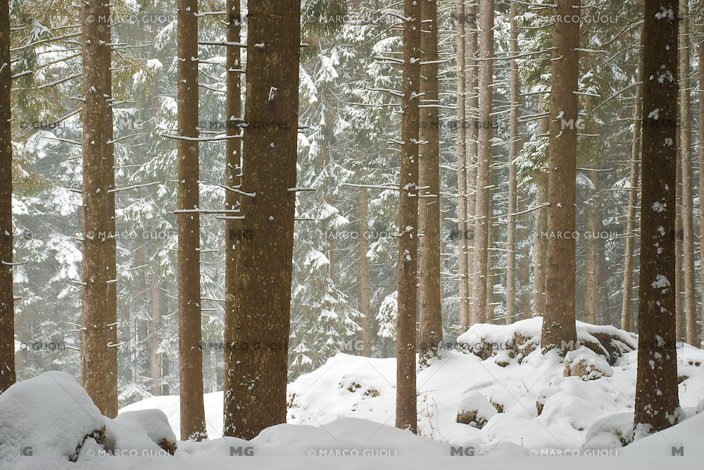 BOSCO DEL BARENTHAL DURANTE UNA NEVICATA, ABETI ROSSI (Picea abies) ASIAGO (VI), ALTOPIANO DI ASIAGO SETTE COMUNI, VENETO, ITALIA