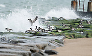 As this flock of Brandt were feeding on the rocks, the waves constantly crashed around them.  Indian River Inlet Delaware