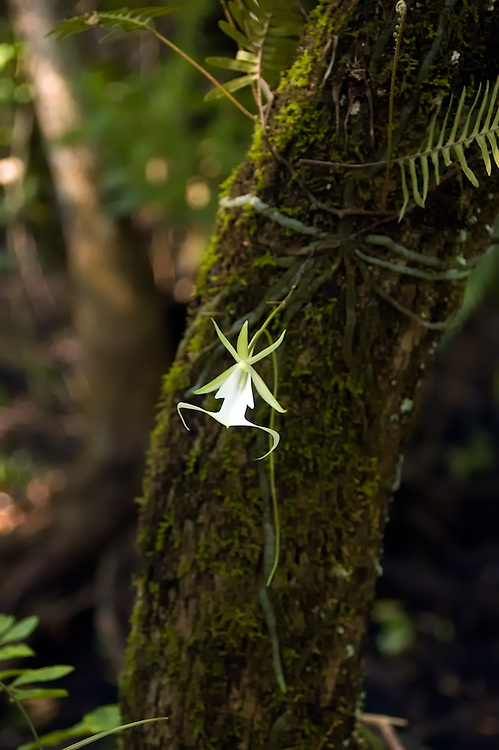 Ghost orchid in full flower on a drab stalk growing from a tangle of green-gray roots. See how the flower just seems to float in mid air?