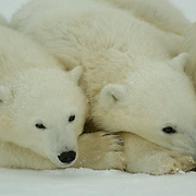 Polar Bear (Ursus maritimus) Two cubs of the year waiting patiently near their mother at Cape Churchill, Manitoba. Waiting for the ice to freeze. November. Canada. Winter.
