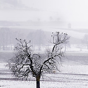 Tree with birds in a scenery with fields and light snow.