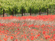 Poppies growing in the countryside near Béziers, Languedoc, France