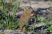 A Belding's ground squirrel (Urocitellus beldingi) feeds on grass in the Malheur National Wildlife Refuge near Frenchglen, Oregon. Belding's ground squirrels hibernate longer than most other mammals - 7 to 9 months per year - so their ability to survive the winter is dependent on how much body fat they are able to accumulate in the summer.