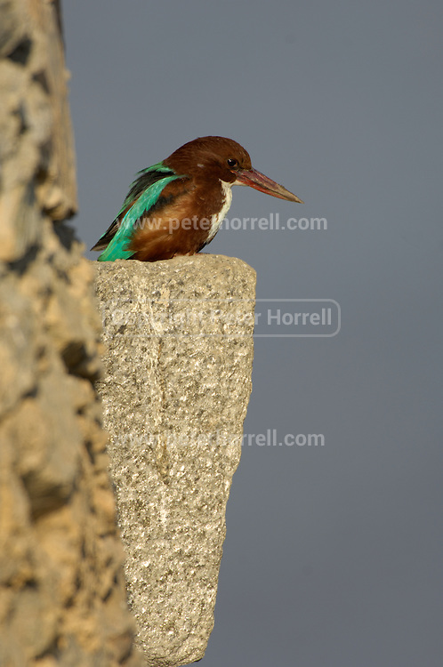 Nimaj - Friday, Dec 29 2006:  A White-throated Kingfisher (Halcyon smyrnensis) perches on the dam at Chhatra Sagar. (Photo by Peter Horrell / http://www.peterhorrell.com)