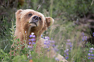 A Grizzly Bear in the Khutzeymateen estuary, British Columbia, Canada