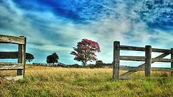 """A paineira-rosa é uma árvore popularmente muito conhecida, devido á sua exuberante beleza, seja de suas flores, seja de seu tronco cinzento-esverdeado e recoberto de acúleos grandes e piramidais(estruturas parecidas com espinhos) ou ainda de seus curiosos frutos que quando se abrem na copa, fazem da árvore uma espécie coberta de """"algodão"""". FOTO: Jefferson Bernardes / Preview.com"""